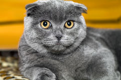 Cat  Scottish lop-eared Stock Images