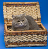 Cat Scottish Straight. Dogs and cats in the most different situations and positions Stock Image
