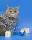 Cat Scottish Straight Stock Photo
