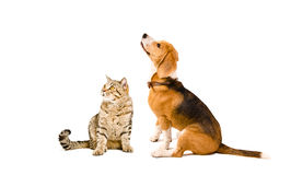 Cat Scottish Straight  and Beagle dog Stock Image