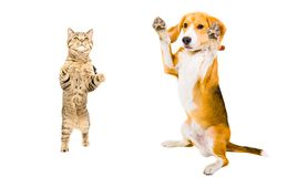 Cat Scottish Straight and Beagle dog standing on its hind legs. Isolated on white background stock images