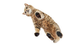 Cat Scottish Straight, from below view Stock Photos