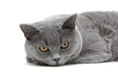 Cat (Scottish Straight breed, age 6,5 months) close-up on white Royalty Free Stock Photos
