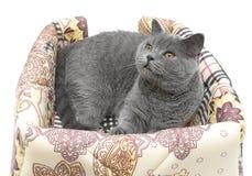 Cat (Scottish Straight breed) on white background Royalty Free Stock Image