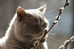 Cat Scottish Straight esamina i ramoscelli del salice fotografia stock