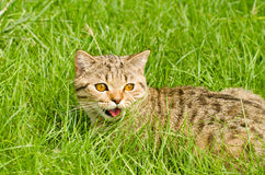Cat Scottish Straight  in the grass Royalty Free Stock Photo