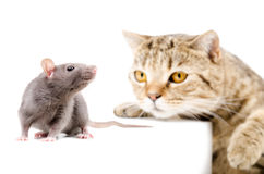 Cat Scottish Straight hunts rat Stock Photos