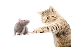 Cat Scottish Straight jaagt rat Stock Afbeelding