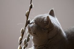 Cat Scottish Straight looks at the willow twigs royalty free stock photography