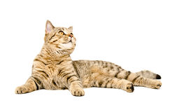 Cat Scottish Straight lying looking up Royalty Free Stock Photography
