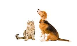 Cat Scottish Straight och beaglehund fotografering för bildbyråer
