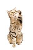 Cat Scottish Straight Stock Photo