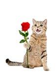 Cat Scottish Straight que senta-se com uma rosa vermelha Imagem de Stock Royalty Free