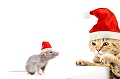 Cat Scottish Straight and rat in New Year`s caps playing together. Isolated on white background stock images