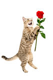 Cat Scottish Straight with a rose Stock Photos