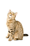 Cat Scottish Straight sitting looking up Royalty Free Stock Photos
