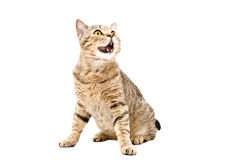 Cat Scottish Straight sitting with mouth open. Portrait of a cat Scottish Straight sitting with mouth open, looking up, isolated on a white background Stock Image