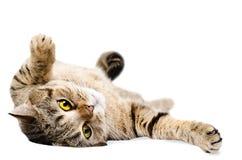 Cat Scottish Straight som ligger på hans baksida Fotografering för Bildbyråer