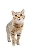 Cat Scottish Straight Stock Image