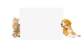 Cat Scottish Straight y el beagle persiguen mirar a escondidas de detrás el cartel Imagen de archivo libre de regalías