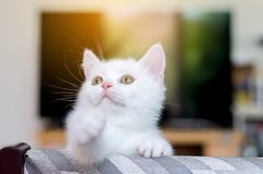 Cat Scottish white fluffy cute little animal. Selective focus stock photo
