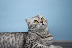Cat Scottish-Zucht Lizenzfreie Stockbilder