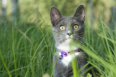 Cat scouting. Grey cat scouting in grass Royalty Free Stock Photos