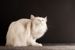 Cat Scratching Royalty Free Stock Image