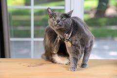 Cat Scratching Behind Head Photographie stock libre de droits