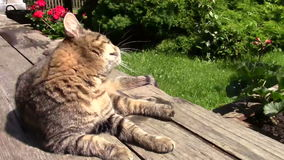 Cat scratching. Feral cat sitting on a bench and scratching stock video