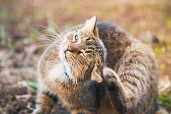 Cat scratching head. Domestic cat with blue collar scratching head in the garden royalty free stock images