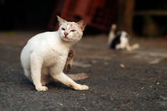 Cat Scratching Herself. White cat Scratching Herself and another one do grooming in the background Royalty Free Stock Image