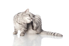 Cat scratching. Isolated on white stock images