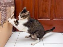 Cat Scratching noire et blanche photos libres de droits