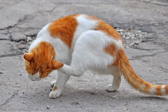 Cat scratching Royalty Free Stock Photos