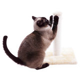 Cat scratching post. Siamese cat with scratching post stock images