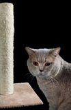 Cat Scratching Post Cutout. English Short Hair Cat and Scratching Post Isolated on Black Background Stock Photos