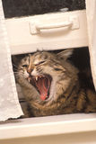 Cat Scream. Cat In Window Screaming Royalty Free Stock Photography