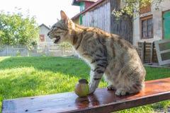 Cat screams Royalty Free Stock Photo