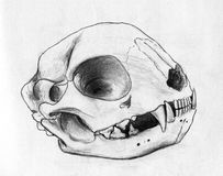 Cat scull Royalty Free Stock Photo