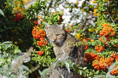 Cat in a seabuckthorn. Bush with orange fruits Royalty Free Stock Photos