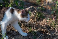 Cat searching for food. Cat walking in the garden and searching for food royalty free stock image