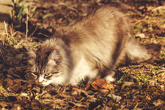 Cat searching and stalking a prey during the fall afternoon. Domestic cat searching and stalking a prey during the fall afternoon. Blur background. Selective Stock Photography