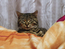 Cat is secretly watching, pretending to be sleeping. Indoors and wild cat is feeling comfortable on the couch Royalty Free Stock Photos