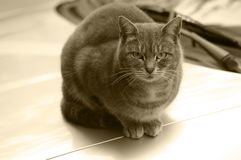 Cat in sepia royalty free stock photography