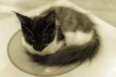 Cat  sepia colur. Stock Photo