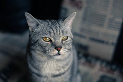 Cat. Serious cat is watching you Stock Photo