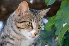 Cat setting on mango tree royalty free stock photography