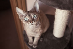 Adorable devon rex cat is setting on the scratching post. Pet Equipment, Accessories and supplies Stock Photography