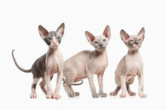 Cat. Several Don sphynx kittens on white background Royalty Free Stock Images